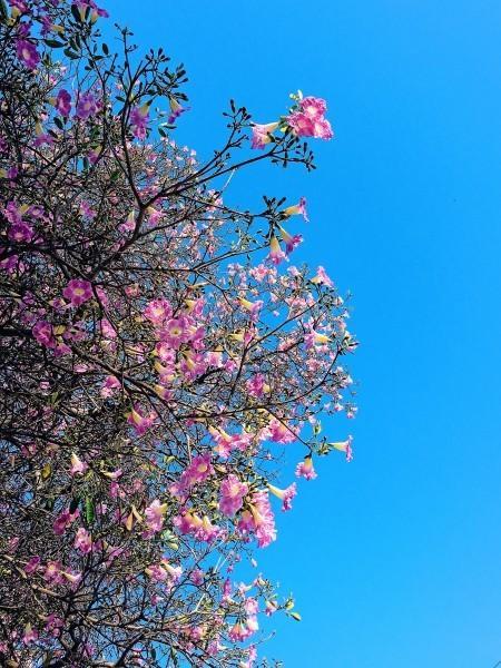 Pink Tecomas In Full Bloom