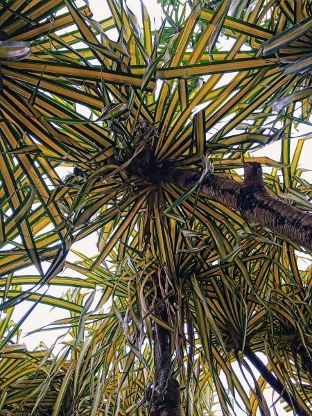 Under a Lau Hala Tree