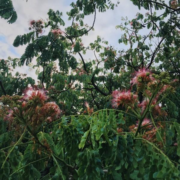 Monkeypod tree flowers in full bloom