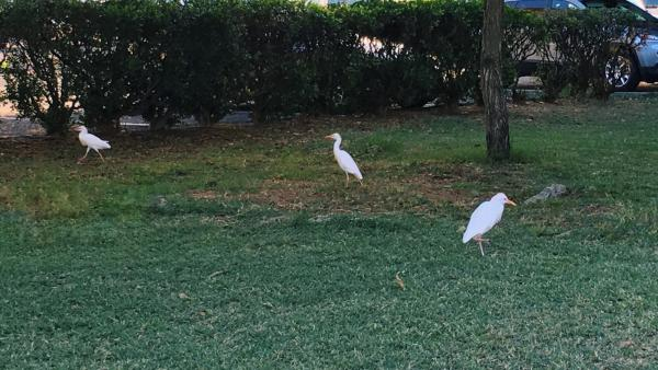 Egrets Hanging Out