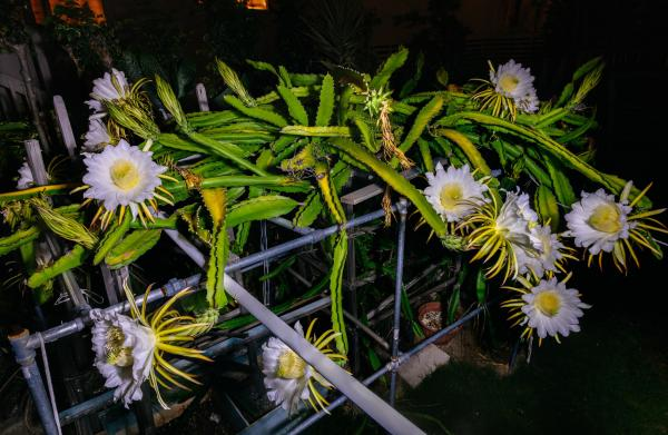 A Bunch of Dragonfruit Flowers Blooming