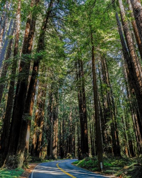 Driving Through a Redwood Forest
